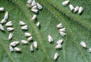 marijuana stoner funny growing pests white flies help tutorial informational growing cannabis stoner